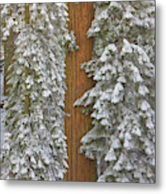 Giant Sequoias And Snow  Metal Print by Yva Momatiuk John Eastcott