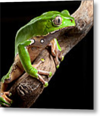 Green Tree Frog Amazon Rain Forest Metal Print
