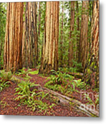 Ancient Forest - The Massive Giant Redwoods Sequoia Sempervirens In Redwood National Park. Metal Print