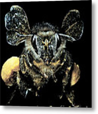 Bee Loaded With Pollen Metal Print