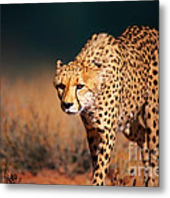 Cheetah Approaching From The Front Metal Print by Johan Swanepoel
