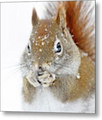 Christmas Squirrel Metal Print by Mircea Costina