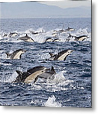 Common Dolphins Surfacing San Diego Metal Print by Richard Herrmann