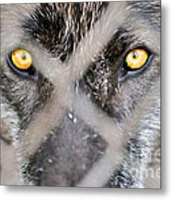 Eyes Behind The Fence Metal Print by Dan Friend