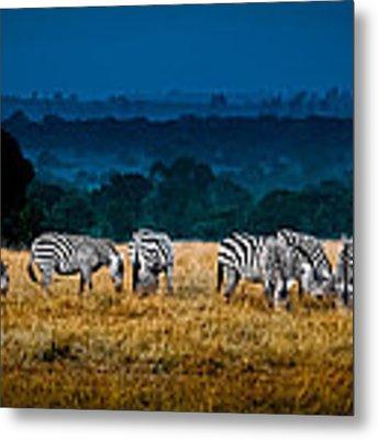 Field Of Feeding Zebra Metal Print by Jim DeLillo