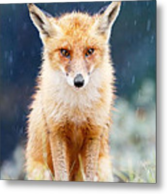 I Can't Stand The Rain  Fox In A Rain Shower Metal Print