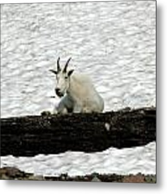 Mountain Goat Metal Print by David Armstrong