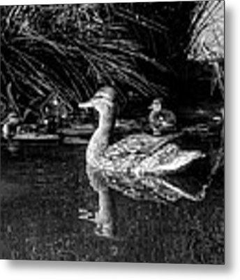 Okc Ducks 002 Metal Print by Lance Vaughn