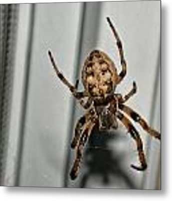 Orb Weaver Metal Print by David Armstrong