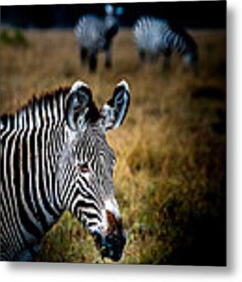 Portrait Of A Zebra Metal Print by Jim DeLillo