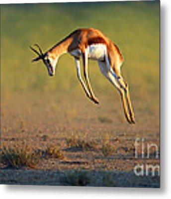 Running Springbok Jumping High Metal Print