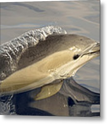 Short-beaked Common Dolphin Azores Metal Print by Malcolm Schuyl