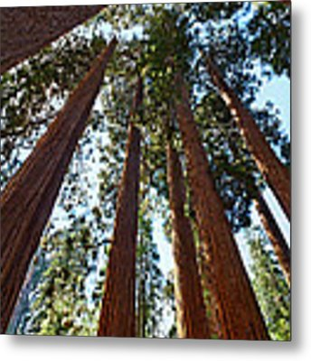 Skyscrapers - A Grove Of Giant Sequoia Trees In Sequoia National Park In California Metal Print by Jamie Pham