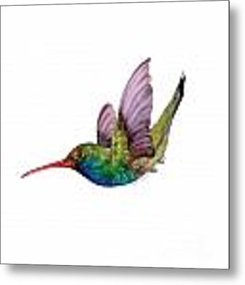 Swooping Broad Billed Hummingbird Metal Print