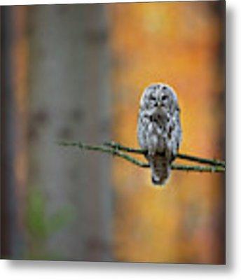 Tawny Owl Metal Print by Milan Zygmunt