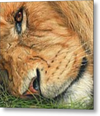 The Lion Sleeps Metal Print by David Stribbling