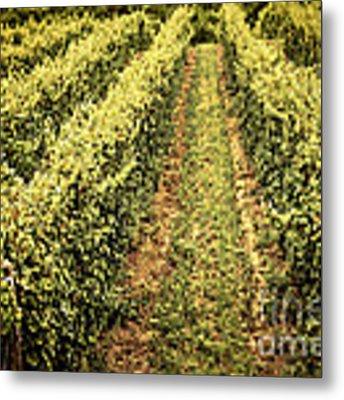Vines Growing In Vineyard Metal Print