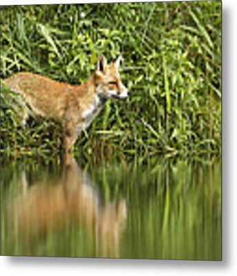 What Does The Fox See Metal Print