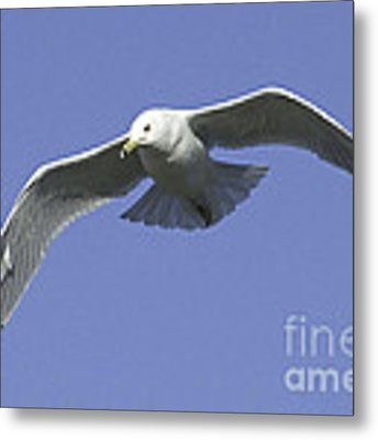 White Seagull In Flight Metal Print by Mae Wertz