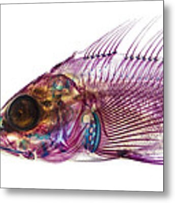 Whitespotted Greenling Metal Print