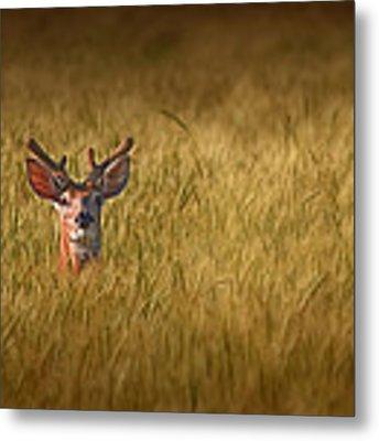 Whitetail Deer In Wheat Field Metal Print
