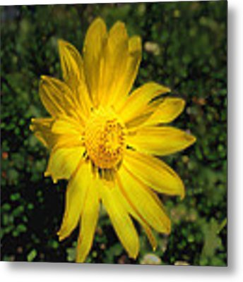 Wild Daisy Metal Print by David Armstrong