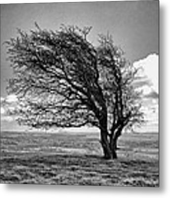 Windswept Tree On Knapp Hill Metal Print by Paul Gulliver