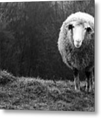 Wondering Sheep Metal Print by Ajven