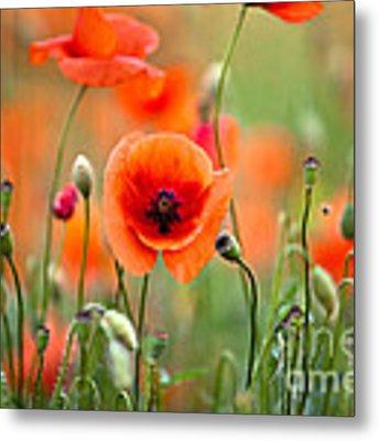 Red Corn Poppy Flowers 05 Metal Print by Nailia Schwarz