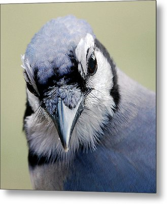 Blue Jay Metal Print by Skip Willits