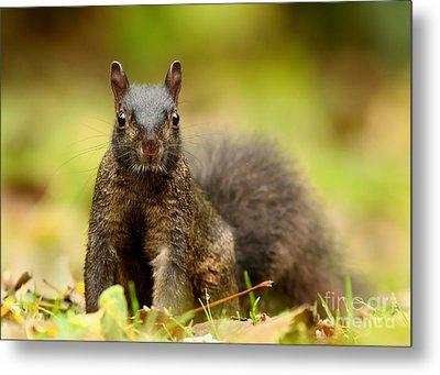 Curious Black Squirrel Metal Print by Mircea Costina Photography