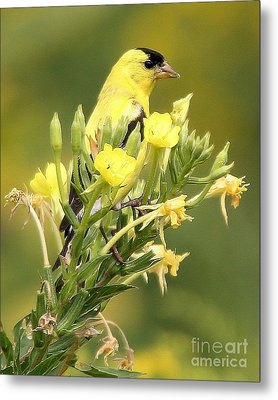 Metal Print featuring the photograph  Goldfinch by Debbie Stahre