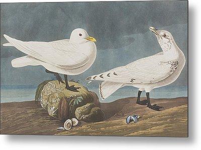 Ivory Gull Metal Print