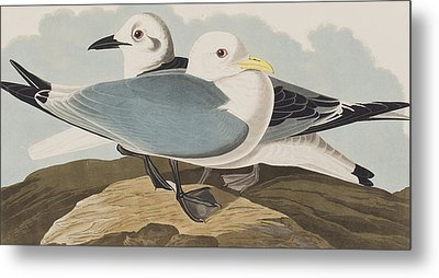 Kittiwake Gull Metal Print by John James Audubon