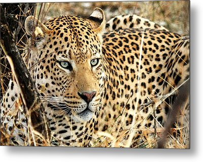 Leopard Eyes Metal Print by Tom Cheatham