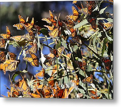 Monarch Cluster Metal Print