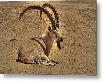 Nubian Ibex Metal Print by Alexander Rozinov