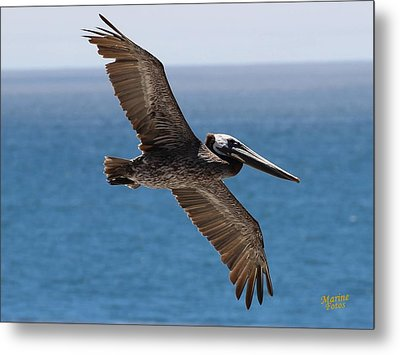 Pelican Flying Wings Outstretched Metal Print