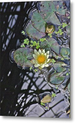 September White Water Lily Metal Print by Janis Nussbaum Senungetuk