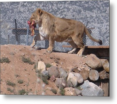 Metal Print featuring the photograph  Steak For Supper by Jeanette Oberholtzer