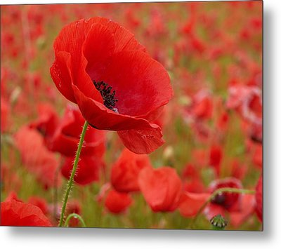 Red Poppies 3 Metal Print by Jouko Lehto