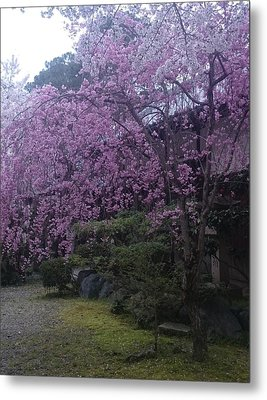 Shidarezakura Mean A Drooping Cherry Tree  Metal Print