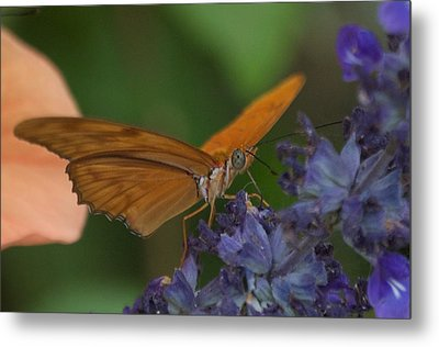 A Butterfly Sipping Nectar 1 Metal Print by Susan Heller