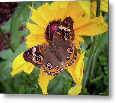 A Common Buckeye  Metal Print