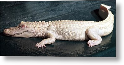 Albino Alligator Metal Print