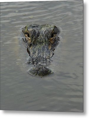 Alligator One Metal Print