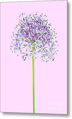 Allium Metal Print by Tony Cordoza