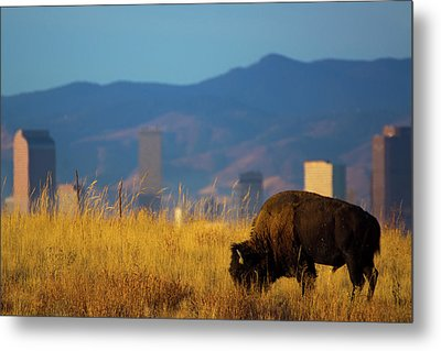 American Bison And Denver Skyline Metal Print