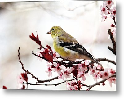 American Goldfinch In Spring Metal Print by Trina Ansel