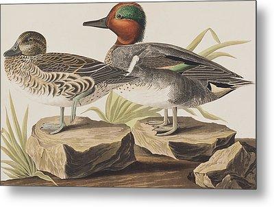 American Green-winged Teal Metal Print by John James Audubon